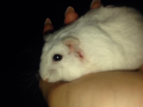 Hamster1 - (Haustiere, Hamster, Wunde)