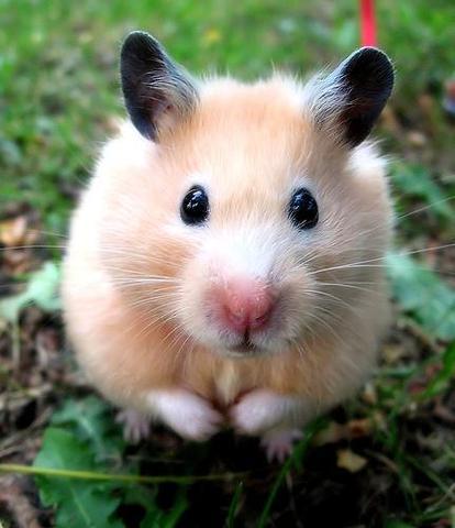 hamster - (Tiere, Hamster)