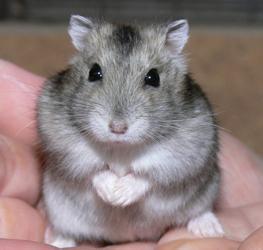 Ein dsungarischer Zwerghamster (nicht unser Rifki) - (Haustiere, Hamster)