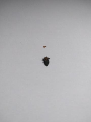 Bild 2 (miese Qualität) - (Parasiten, Bettwanzen)