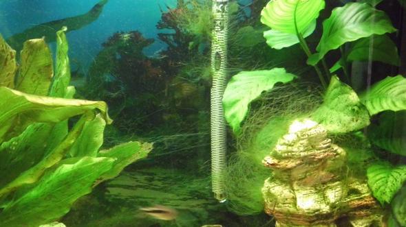 Fadenalgen - (Aquarium, Aquaristik, Algen)