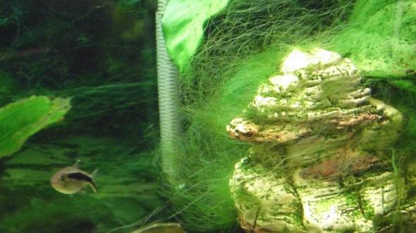 lästige Fadenalgen - (Aquarium, Aquaristik, Algen)
