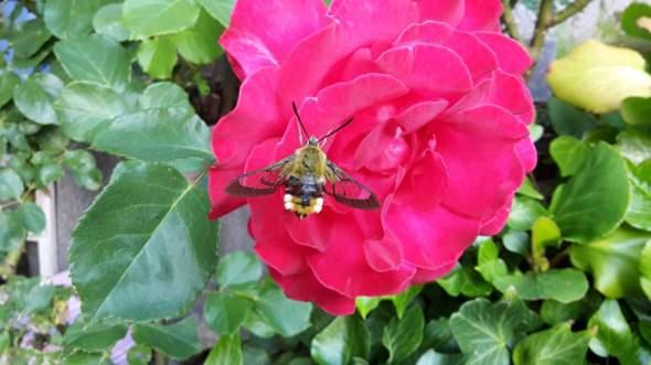 Hat jemand eine ahnung was das für ein Insekt ist?