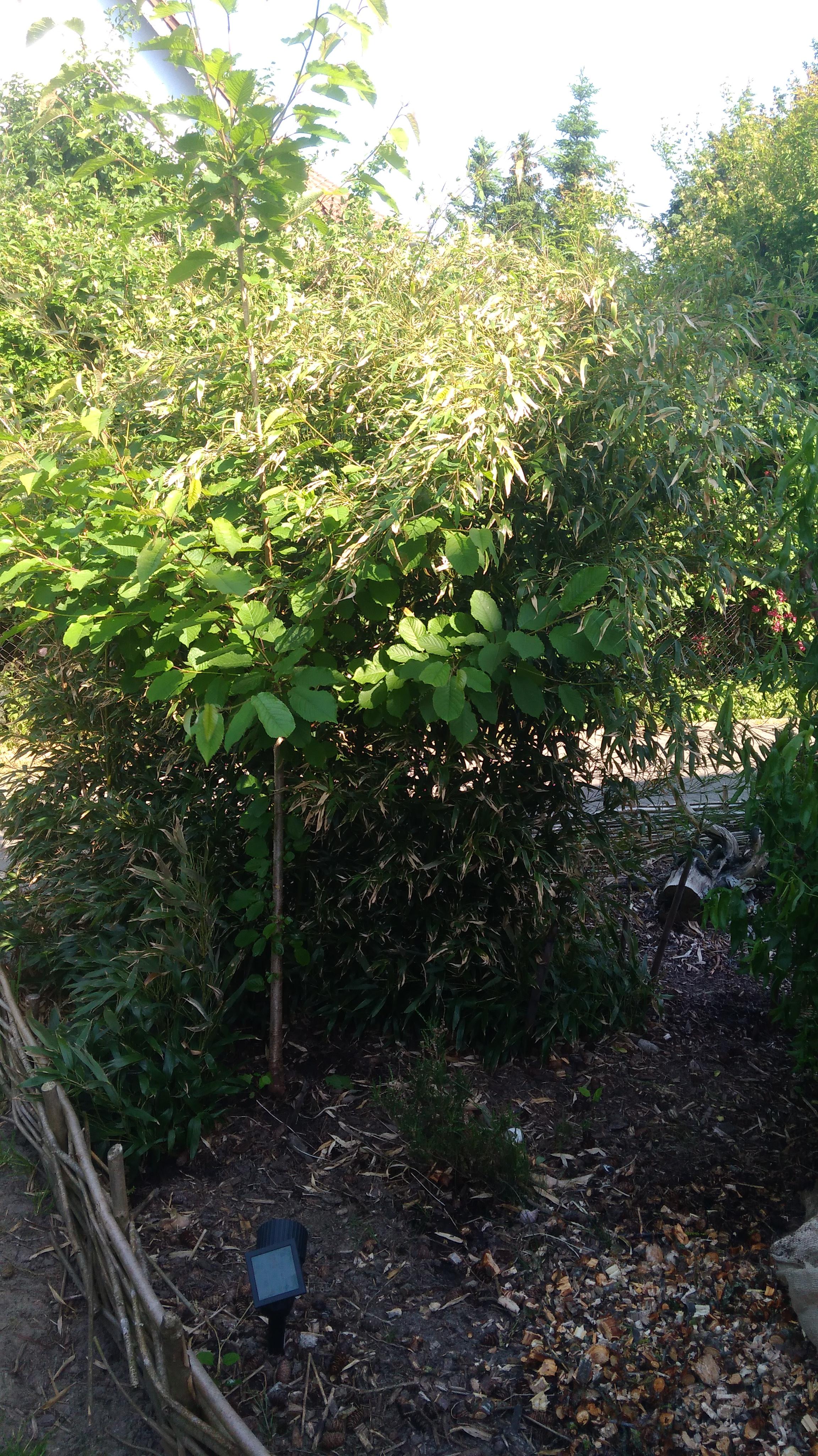 Hat Jemand Eine Ahnung Was Das Für Eine Bambusart Ist Garten