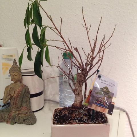 Ein kleiner trauriger Bonsai, der immer weiter verwelkt - (Pflanzen, Baum, Bonsai)