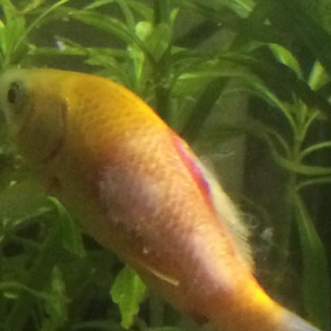 Aufnehme 1 - (Aquarium, Goldfische)
