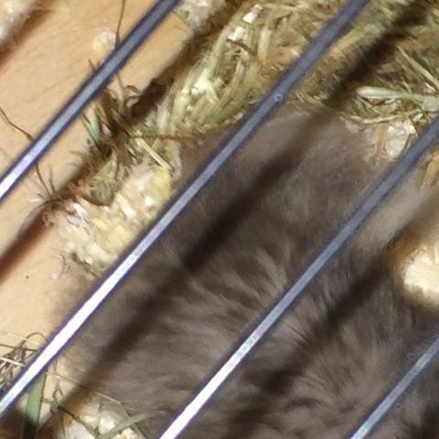 Hier sieht man es vom nahen - (Tiere, Hamster, heu)