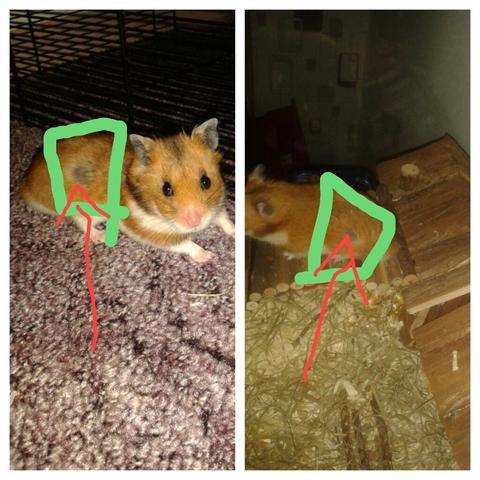 diese schwarzen stellen - (Hamster, Milben)