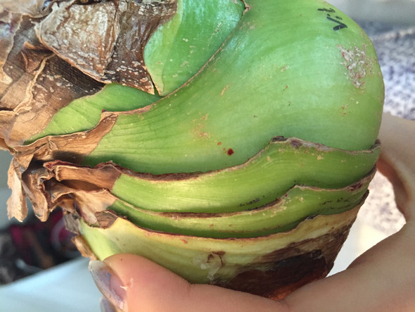 Amaryllis - (Pflanzen, Amaryllis)
