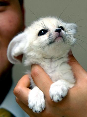 Haustier Wustenfuchs Fennek Haustiere Fuchs