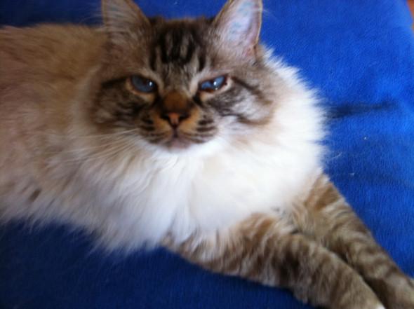 Dusty - (Katze, Ragdoll, heilig birma)