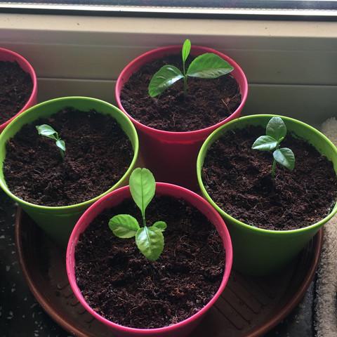 Unterster Zitronenkeimling relativ helles Grün - (Garten, Sonne, Erde)