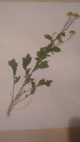 Bild 2 - (Pflanzen, Herbarium, Kreuzblütengewächse)