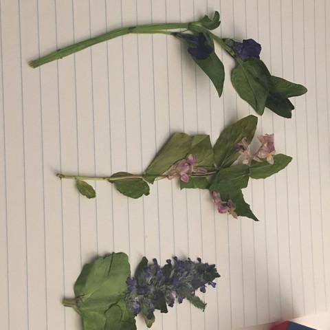 Herbarium Pflanzen bestimmen? (Blumen, trocknen, Mai)