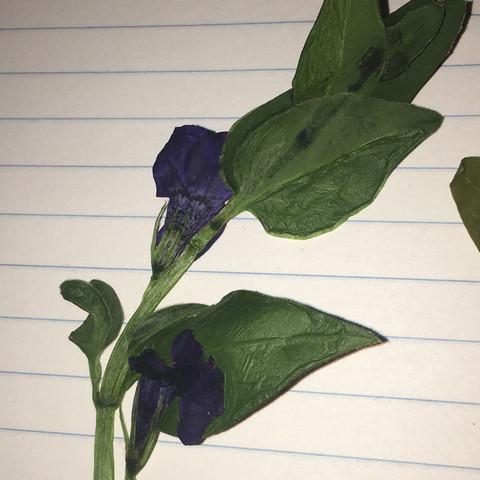 Pflanzen Trocknen herbarium pflanzen bestimmen blumen trocknen mai