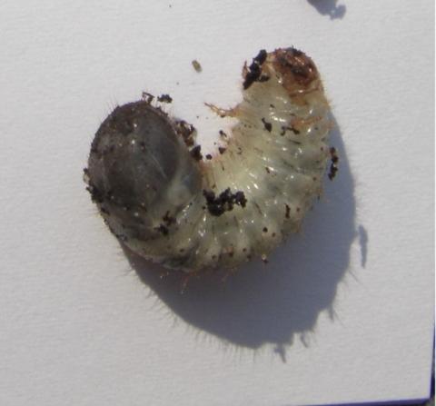 Heute habe ich aus den blumentopf 6 dieser larven geholt for Fliegen aus blumentopf