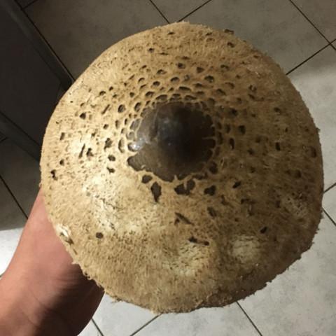 Sehr groß und Regenschirmform - (Pilze, giftig)
