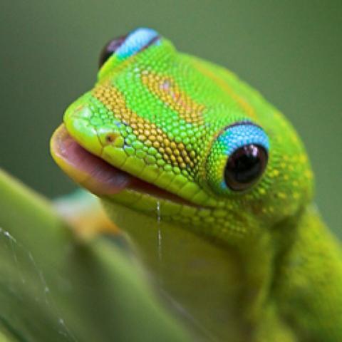 Gecko hat er zähne Verletzungsgefahr ??? - (Zähne, Verletzung, Gecko)