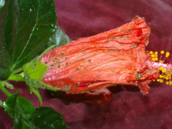 Hibiskus - (Pflanzenpflege, Läuse, Hibiskus)