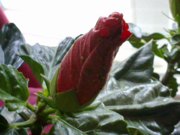Hibiskus 2 - (Pflanzenpflege, Läuse, Hibiskus)