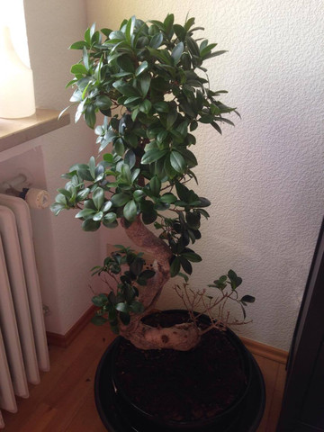 Hilfe - mein Ficus Bonsai schwächelt!?