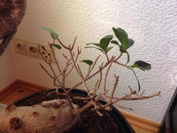 Ficus Ginseng Bonsai - Botanik Pflanzen - (Pflanzen, Blumen, Baum)