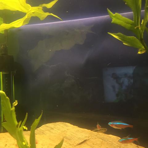 Weisse schleier - (Aquarium, reinigen, Zierfische)