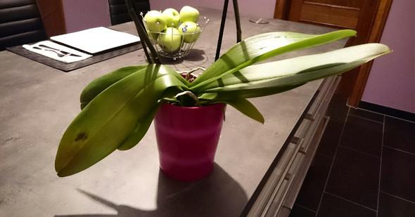 Warm Hat Meine Orchidee Schlaffe Blätter Orchideen