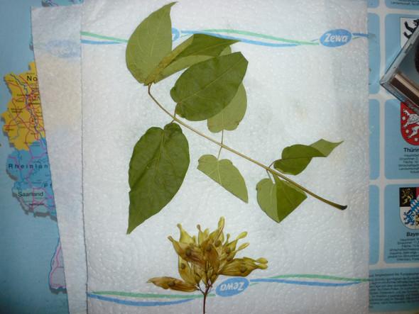 Blatt hat 8 Teilblätter - (Herbarium, baumbestimmung)