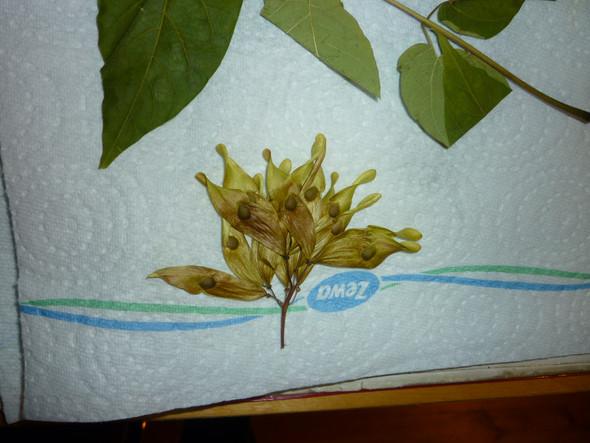 Die Samen - (Herbarium, baumbestimmung)