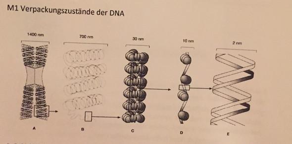Hilfe bei Biologie. Das Thema ist DNA und Chromosomen. Kann mir ...