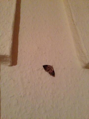 Hilfe bei Nachtfalter bzw. Mottenplage? (Ungeziefer, Schlafzimmer ...