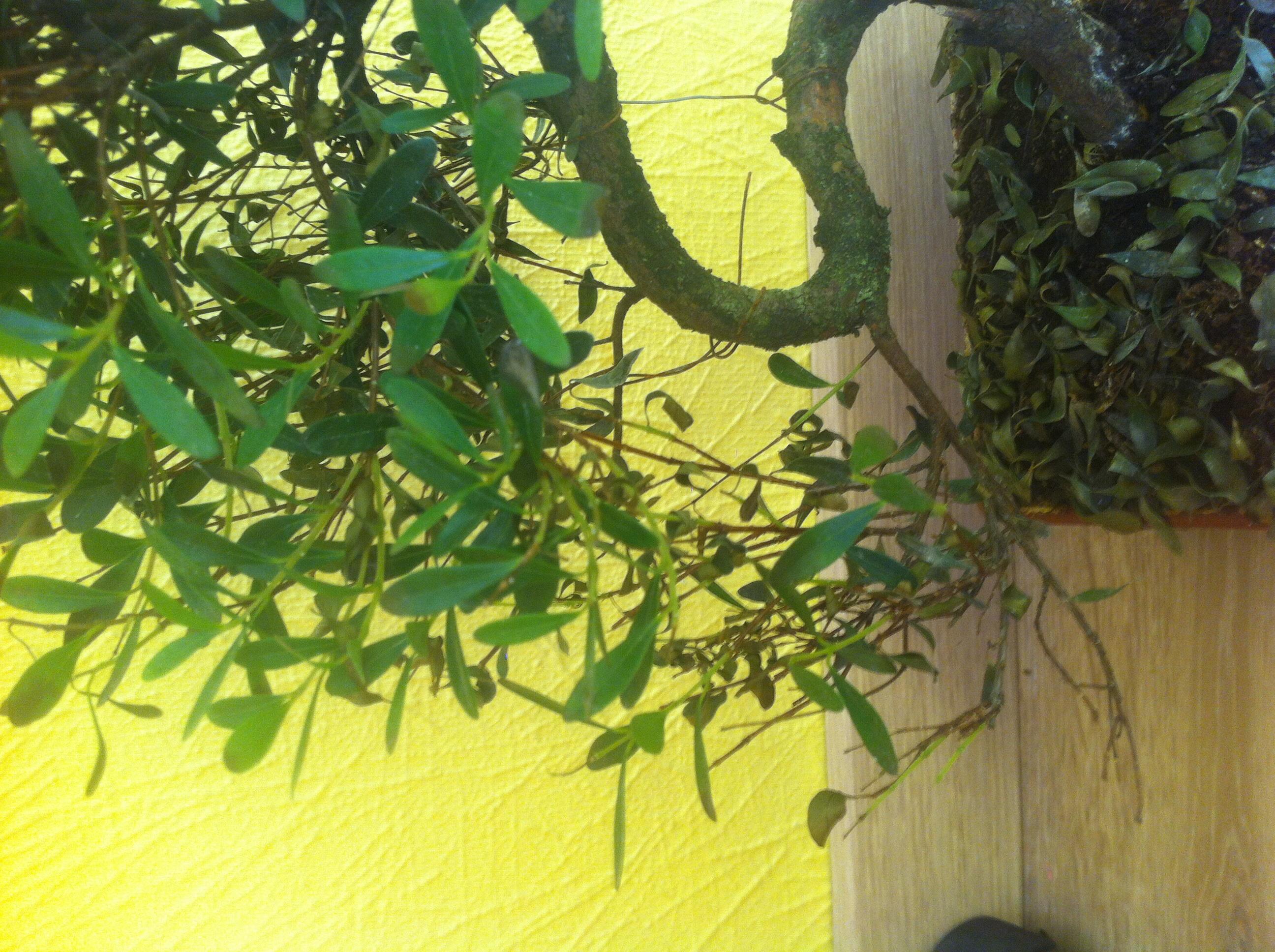 hilfe bonsai verliert alle bl tter garten pflanzen. Black Bedroom Furniture Sets. Home Design Ideas