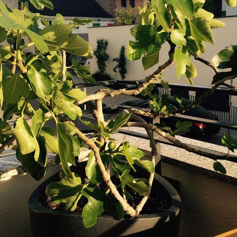 Bild 2 - (Schädlinge, Feigenbaum, Blätter angefressen)