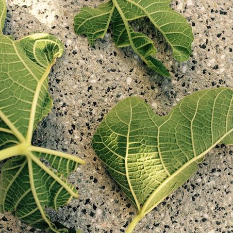 Bild 3 - (Schädlinge, Feigenbaum, Blätter angefressen)