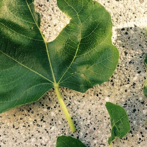 Bild 4 - (Schädlinge, Feigenbaum, Blätter angefressen)