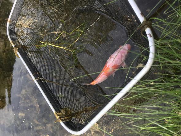 Hilfe Fisch Im Teich Hat Flecken Tiere Fische Schimmel