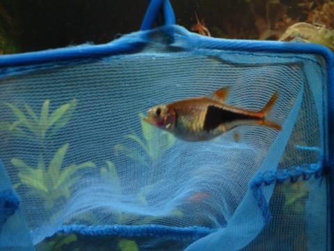 - (Fische, Aquarium, Aquaristik)