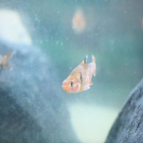 Blutsalmler - (Krankheit, Fische, Aquarium)