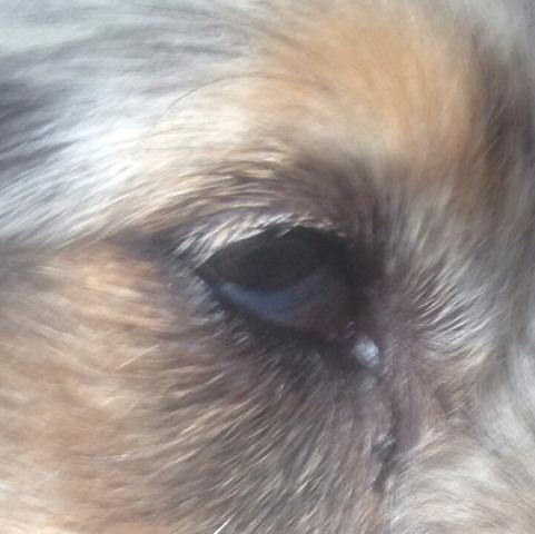 Angeschwollenes Auge von meinem Hund  - (Hund, Augen, krank)