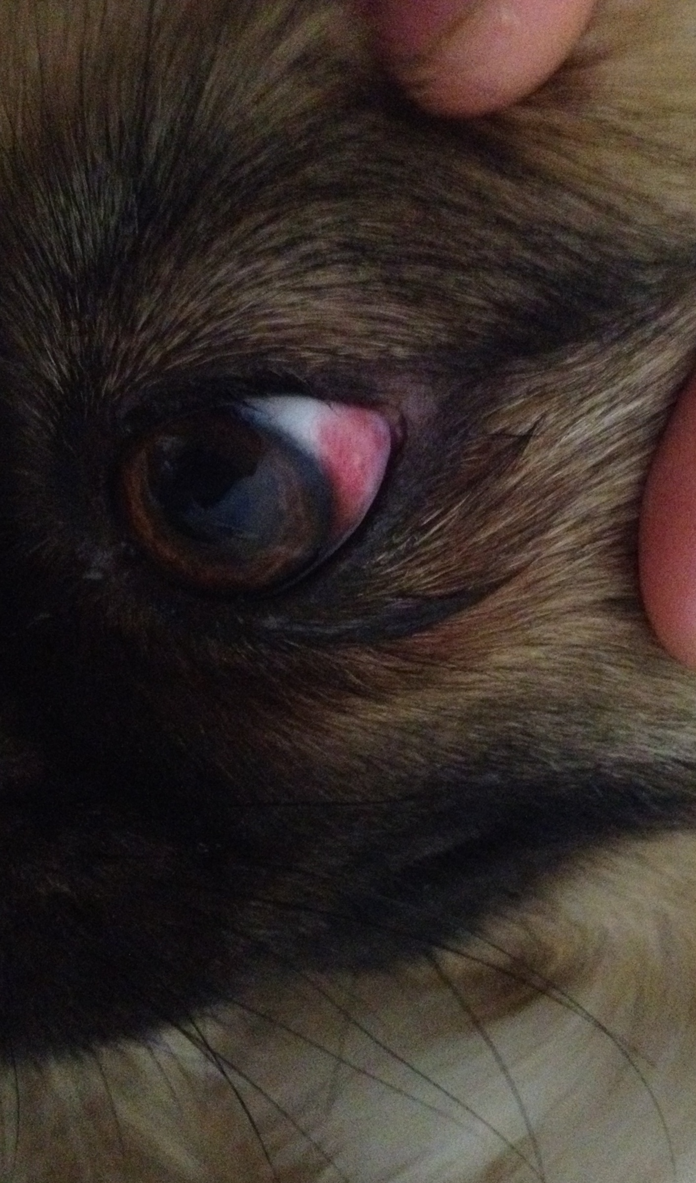Hund Rotes Auge