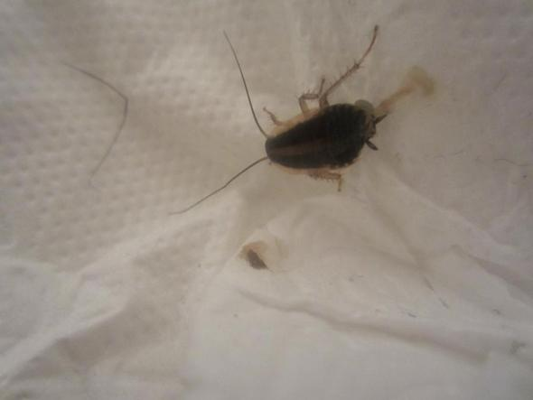 hilfe insektenbestimmung handelt es sich hierbei um eine kakerlake tiere sch dlinge schaben. Black Bedroom Furniture Sets. Home Design Ideas