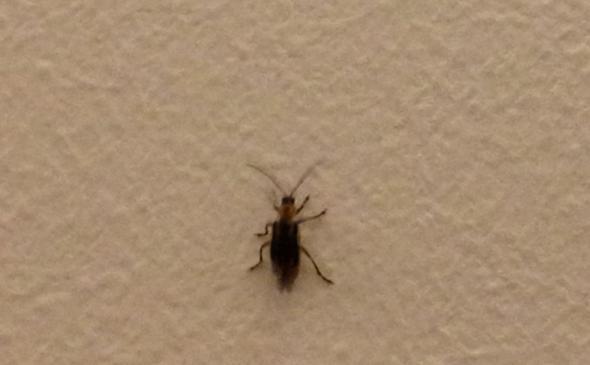 hilfe ist das eine kakerlake oder etwas anderes insekten kakerlaken. Black Bedroom Furniture Sets. Home Design Ideas