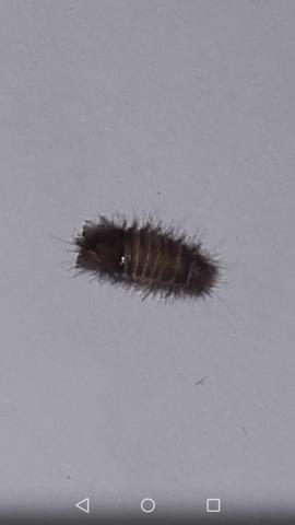 Ist etwa 4-5mm groß und Braun.. sehr haarig - (Tiere, Haushalt, Insekten)