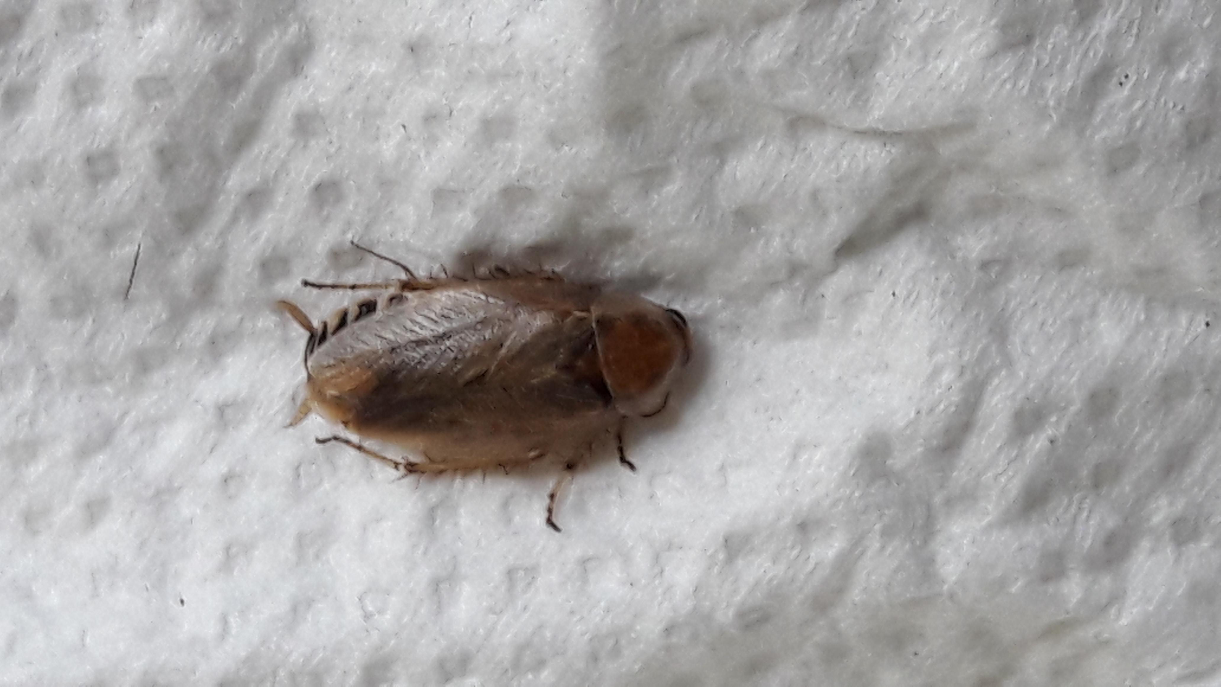 Hilfe Kuchen Oder Waldschabe Insekten Schabe