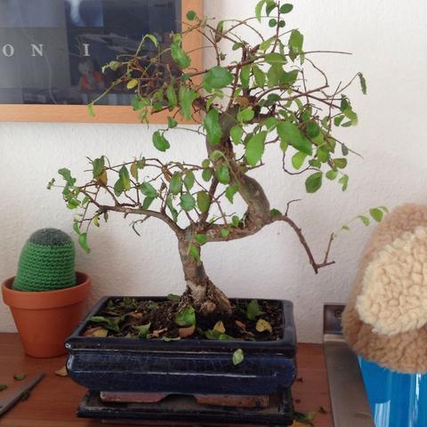 hilfe mein bonsai geht ein pflanzen d ngen. Black Bedroom Furniture Sets. Home Design Ideas