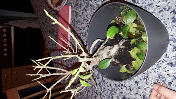 Hilfe mein Ficus Ginseng verliert alle Blätter was soll ich tun?