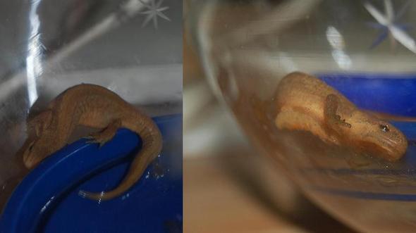 Lurch - (Amphibien, überwintern, Molch)
