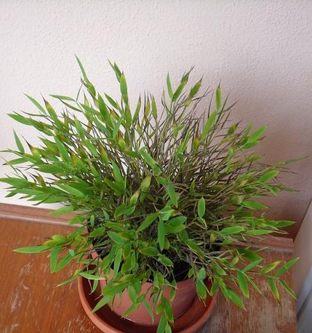 hilfe mein zimmerbambus verd rrt pflanzen blumen pflanzenpflege. Black Bedroom Furniture Sets. Home Design Ideas