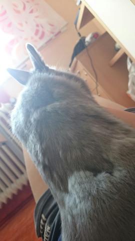 An den hellen Stellen ist noch mehr Unterfell vorhanden  - (Tiere, Kaninchen, Haarausfall)